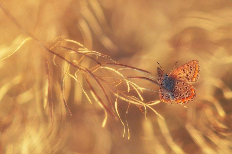 лето, макро, бабочка, сухоцвет, голубянка Солнечный ветерphoto preview