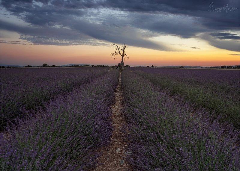 dead tree lavender field Dead tree on lavender field.photo preview