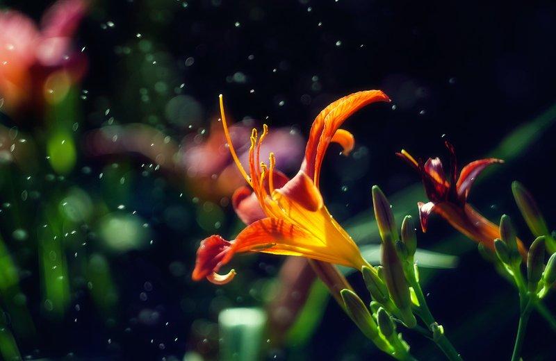 цветы, лето, капли, макро, цветение Лилейникphoto preview