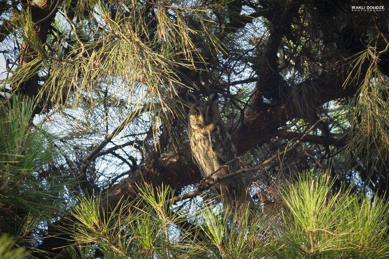birds, bird, nature, owl, photography, animals, The long-eared owlphoto preview