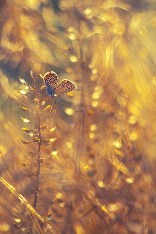 лето, макро, бабочка, сухоцвет, голубянка, вечер, свет ...разлитое золото середины лета...photo preview