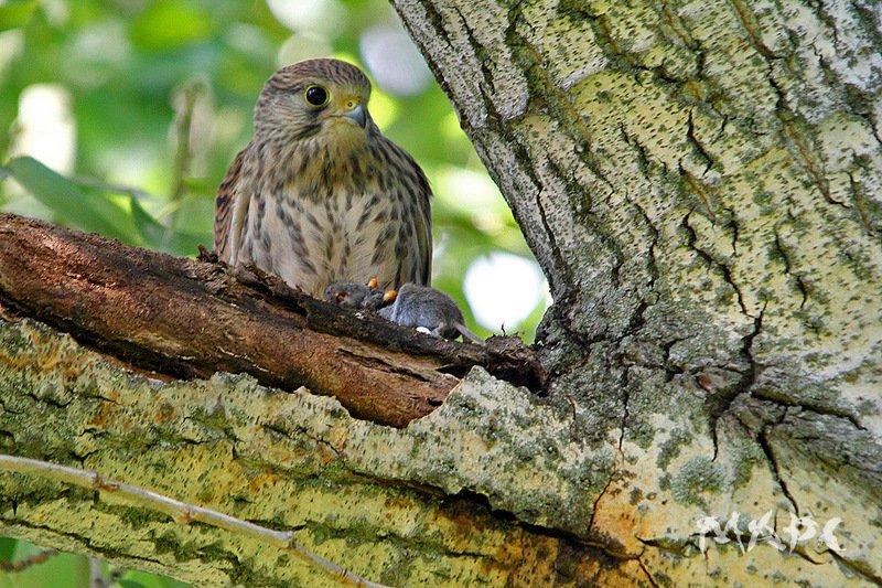животные птицы пустельга с добычей  лето охота Пустельгаphoto preview