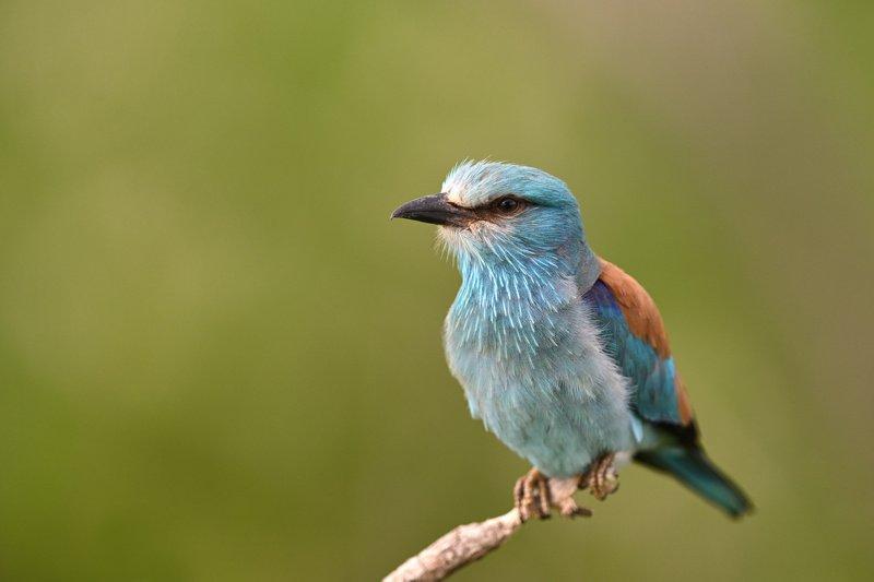 bird, birding, birdwatching, wild, wildlife, roller, european roller, Eye to eyephoto preview