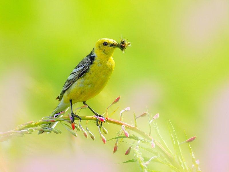 природа, фотоохота, трясогузка, птицы, животные, цветы, лето Летние заботыphoto preview