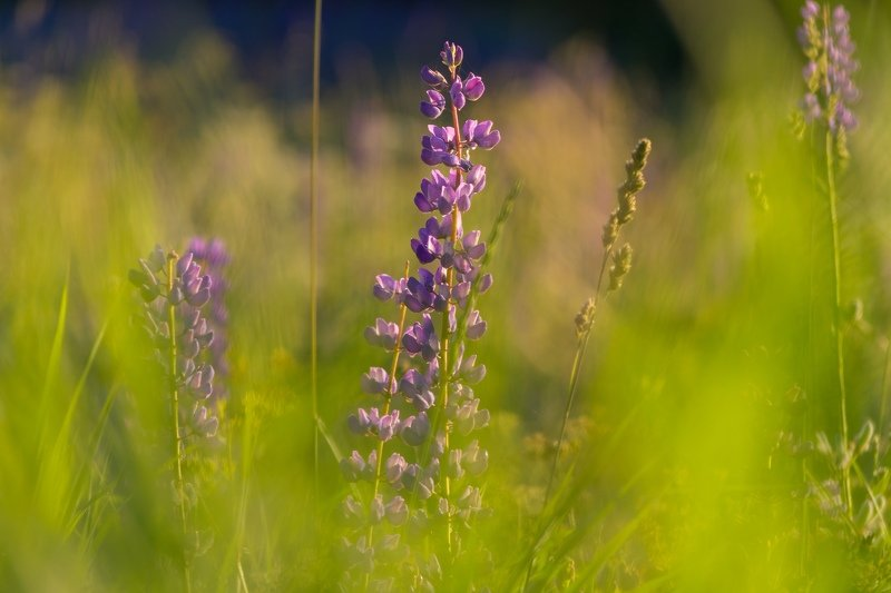 цветы, свет, солнце, люпины, природа Люпиныphoto preview