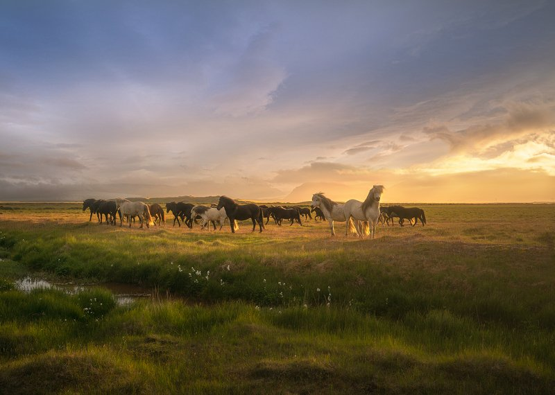 Исландские лошадкиphoto preview
