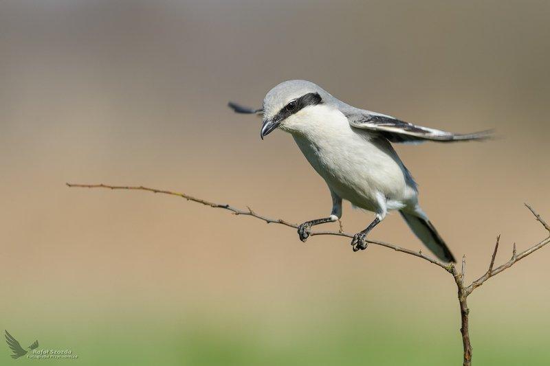 birds, nature, animals, wildlife, colors, spring, freedom, nikon, nikkor, lens, lubuskie, poland Srokosz, Northern Shrike (Lanius excubitor) ... 2019r фото превью