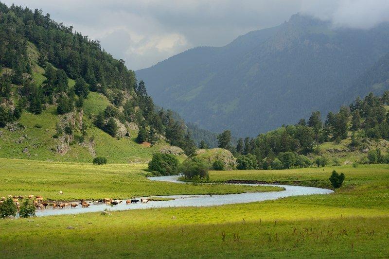 горы лето кавказ маруха коровы Коровы на курортеphoto preview
