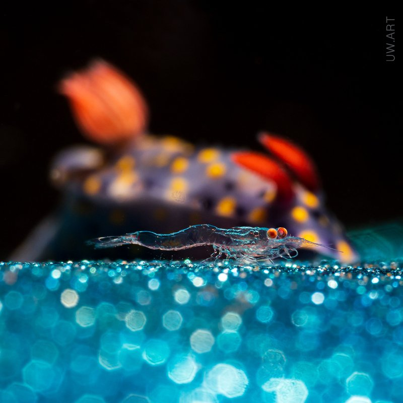 nudibranch, shrimp, night, closeup, macro, blue, couple BBB: big buddy backgroundphoto preview