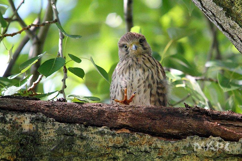 животные птицы лето пустельга Всем привет!photo preview
