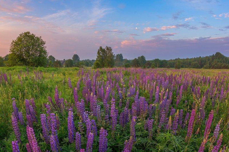 рассвет, утро деревня, люпины, люпин, цветы, туман, забор, фиолетовый фиолетовый рассветphoto preview
