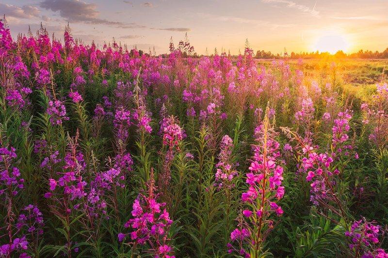 Кипрей цветок картинки