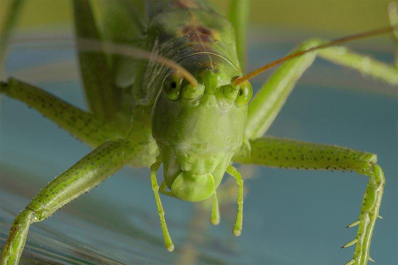 Кузнечик насекомое макро Кузнечикphoto preview