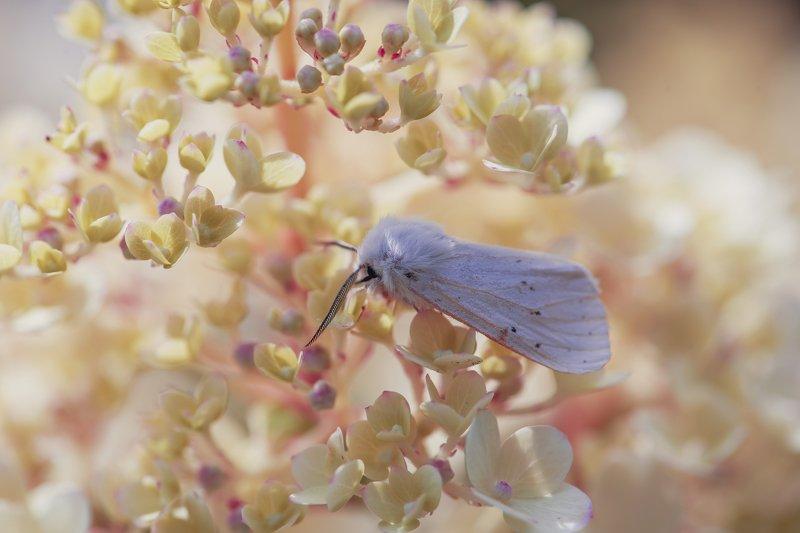 ночная бабочка мотылек цветы нежность макро Белоснежкаphoto preview