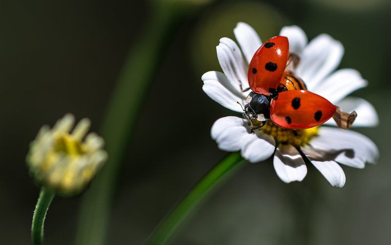 природа, макро, цветы, ромашка, жук, божья коровка Здравствуйте, я Ваша тётя!photo preview