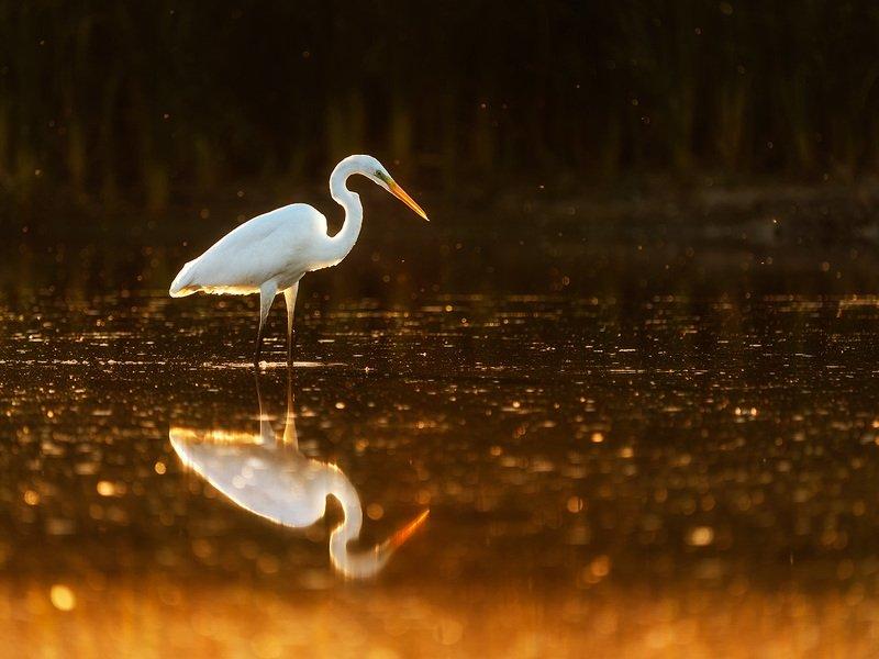 цапля, птицы, птица, анималистика, природа, животные, wildlife, birds, egret, heron Вечерняя охотаphoto preview