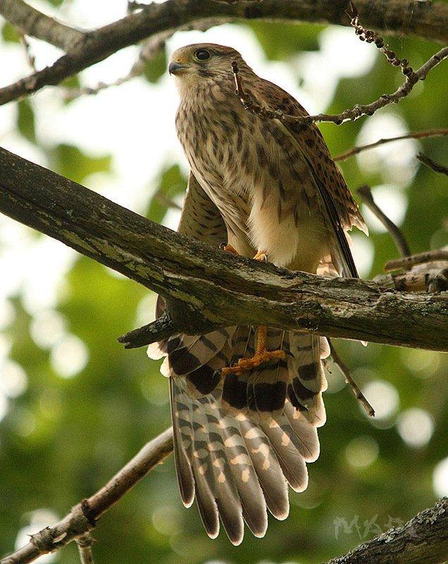 животные птицы лето пустельга Потягушкиphoto preview