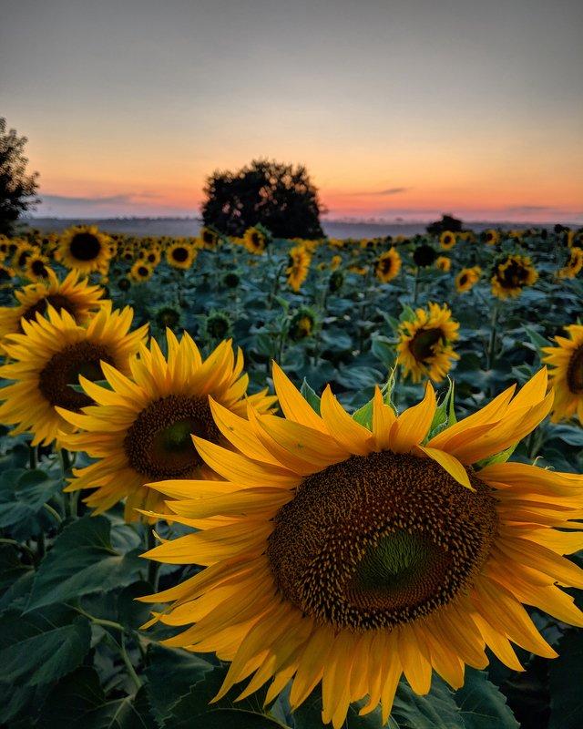 закат,подсолнух,пейзаж,закат,цветы,небо, Подсолнечный закатphoto preview