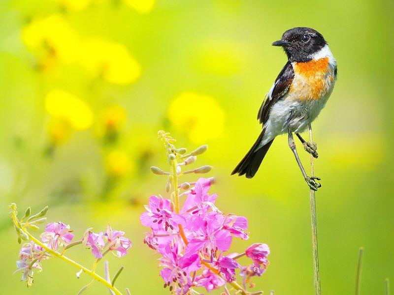природа, фотоохота, чекан, птицы, животные, цветы, лето На солнечной сторонеphoto preview