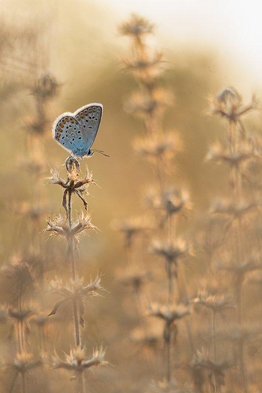 лето, макро, бабочка, сухоцвет, голубянка ***photo preview