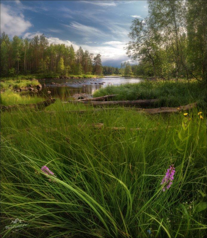карелия, лето, пальчатокоренник фукса, орхидея Запах дождя ...photo preview