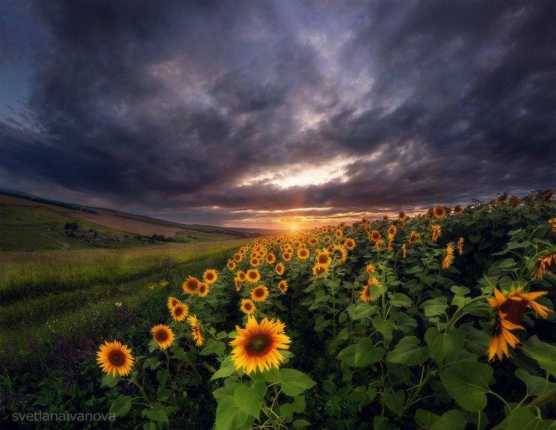 подсолнухи, закат, горы, пятигорск, ессентуки, лето Тысяча сияющих солнцphoto preview