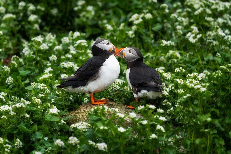 тупик, птицы, анималистика, природа, животные, wildlife, puffin, birds, animals, nature Это любовьphoto preview