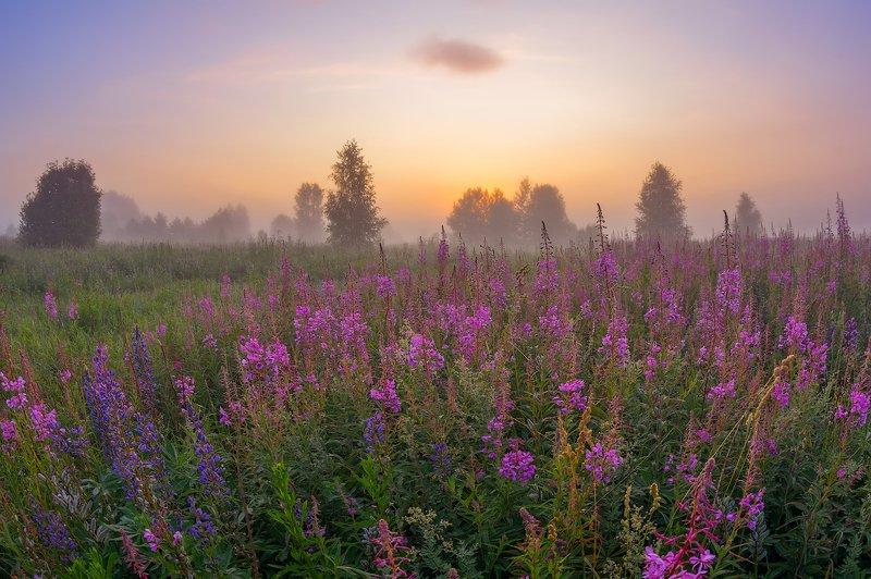 утро, рассвет, туман, кипрей,иван-чай, лето, цветы про пурпурное утро, розовый туман и цветущий иван-чайphoto preview