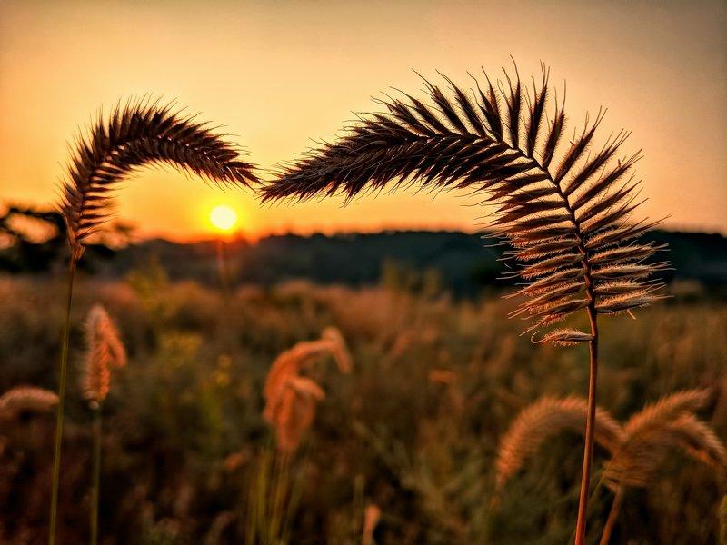 утро,рассвет,колоски ,солнце,пейзаж,цвет,sunrise ***photo preview