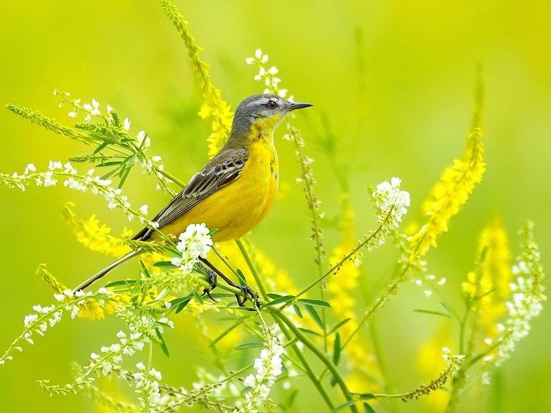 природа, фотоохота, трясогузка, птицы, животные, цветы, лето На цветущем лугуphoto preview