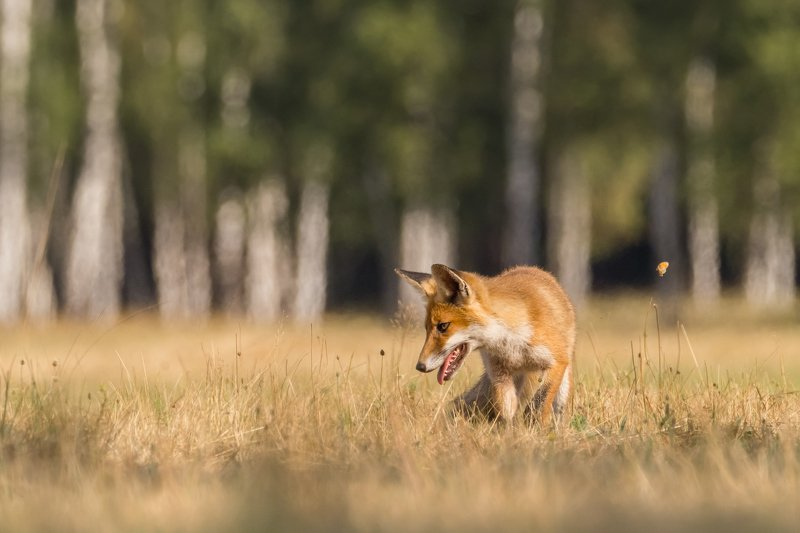 fox, butterfly, meadow, wildlife photo preview