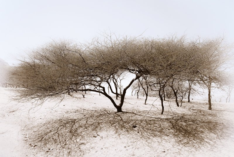 acacia, desert, rajasthan, pushkar Acacia In Tar Desertphoto preview