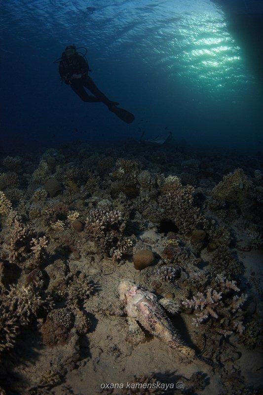 underwater blue scorpenf fish coral diver В ожидании ужина.photo preview