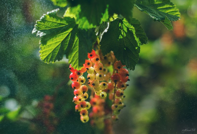 лето, смородина, капли, солнце, дача Когда поспевал урожай или Ягодное летоphoto preview