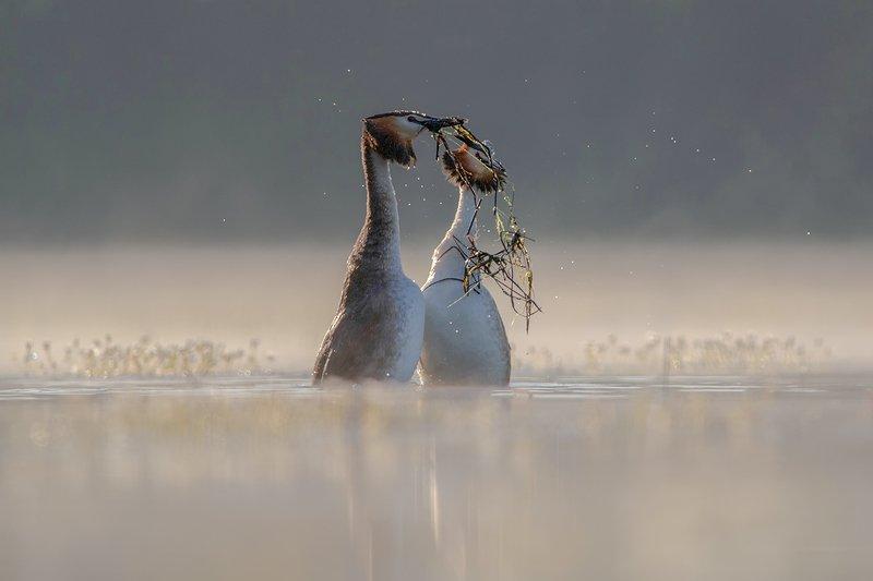 podiceps cristatus, perkoz dwuczuby, great crested grebe, большая хохлатая поганка Great crested grebe фото превью