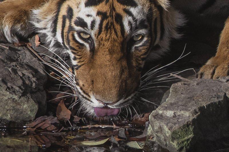 тигр ЖАЖДА!photo preview