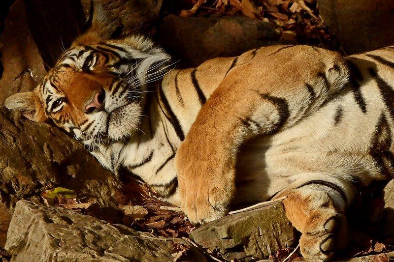 тигр \