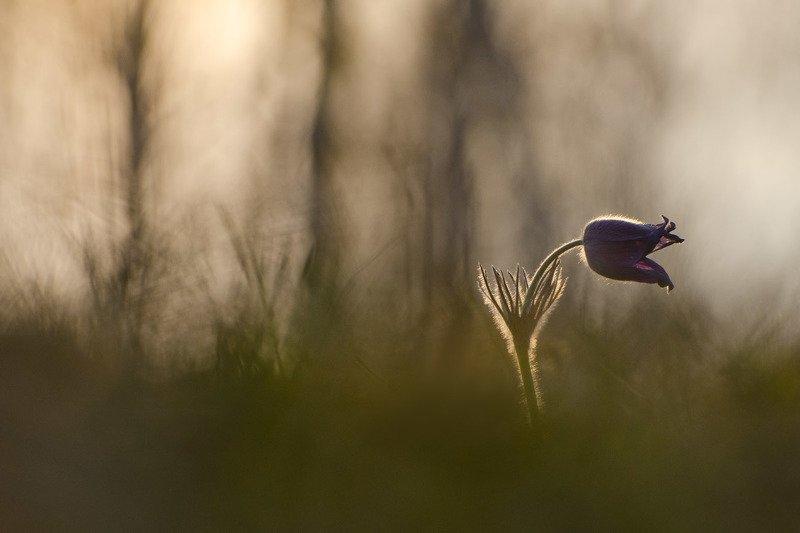 сон - трава, прострел Будет сниться апрельphoto preview