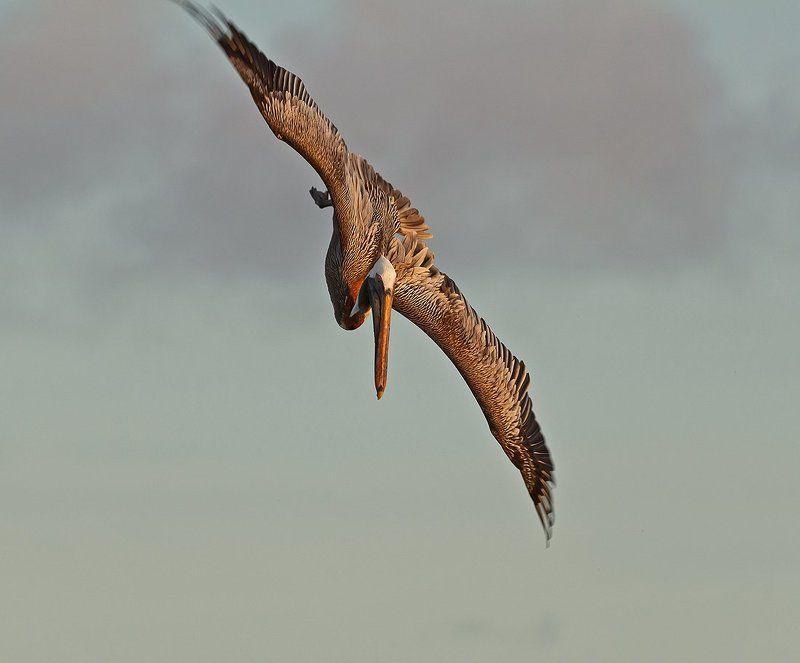 американский бурый пеликан, венесуэла, лос рокес Вечерняя охотаphoto preview