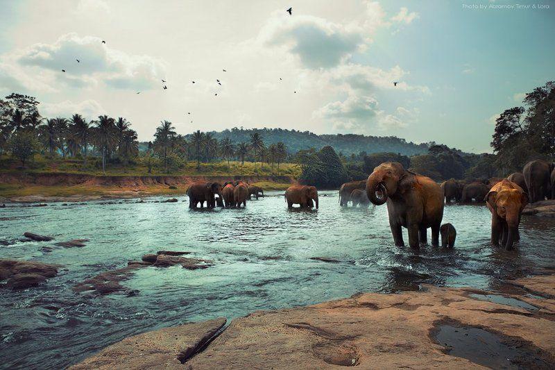слоны, река, природа, шри-ланка, цейлон На реке Maha Oyaphoto preview