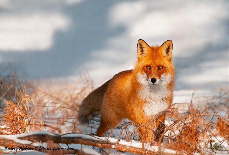 лес, снег, лиса, фотоохота Лисphoto preview