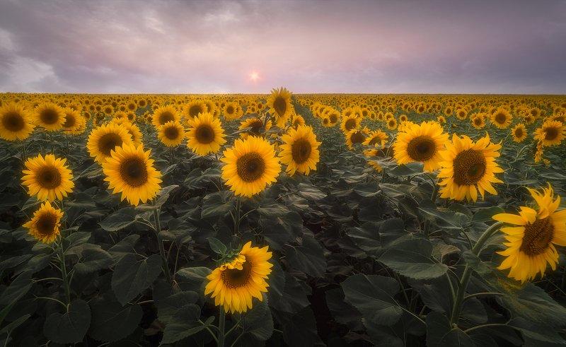 подсолнухи, поле, башкирия В подсолнуховом полеphoto preview