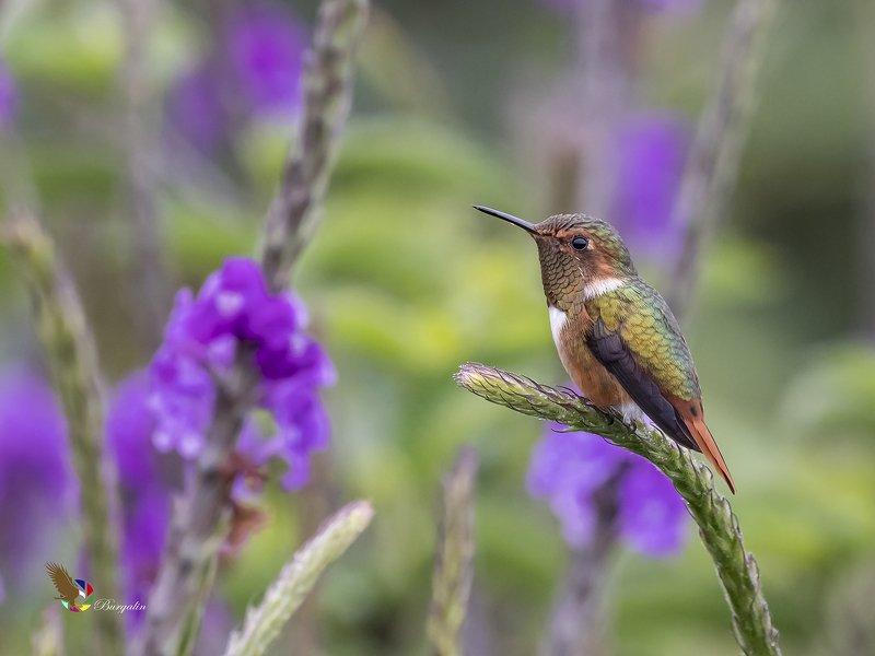 Scintillant Hummingbird (Selasphorus scintilla) Colibrí Chispita Gorginaranja (Chispita, Colibrí Mosca) R-END фото превью