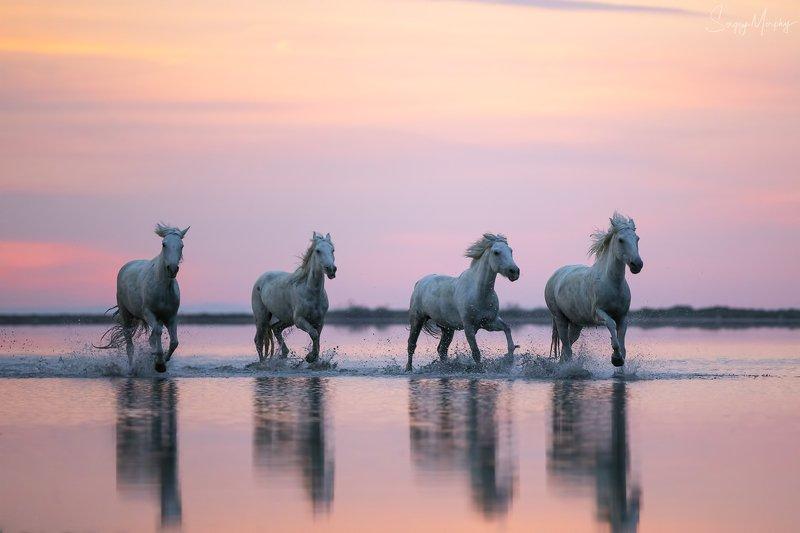 camargue horses Camargue horses.photo preview