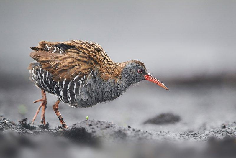 birds, bird, animals, wildlife, water, rail, Water railphoto preview