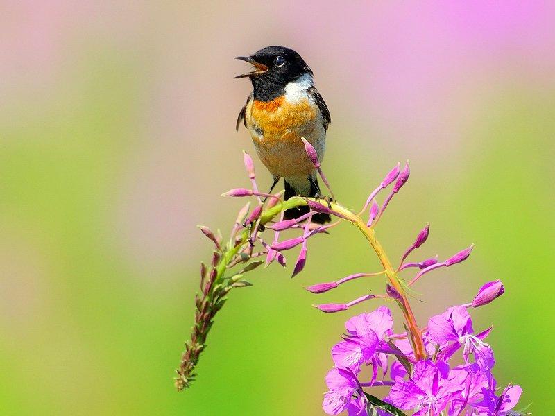 природа, фотоохота, чекан, птицы, животные, цветы, лето Птицы летнего лугаphoto preview