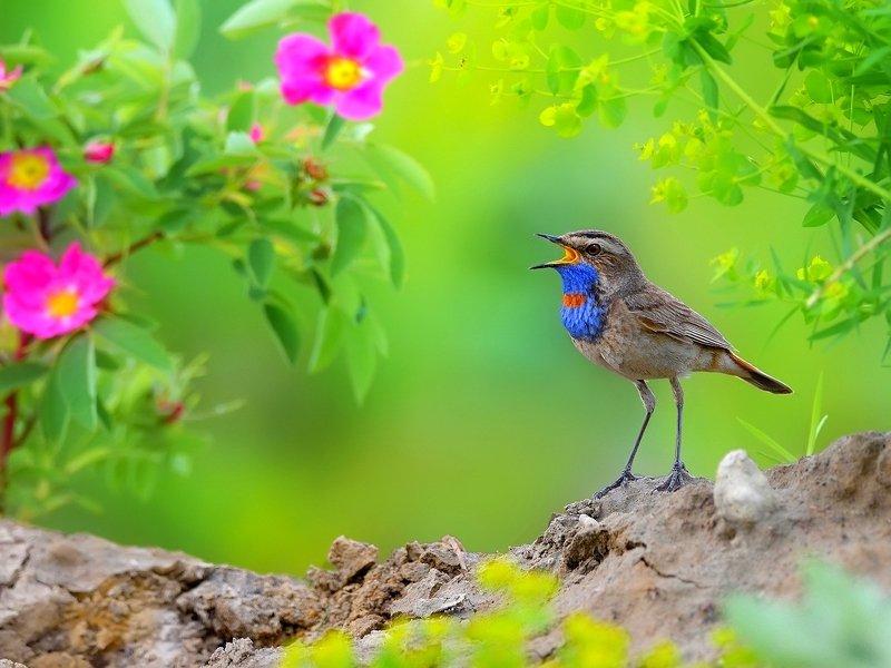 природа, фотоохота, варакушка, птицы, животные, цветы, лето Песни цветущего лугаphoto preview