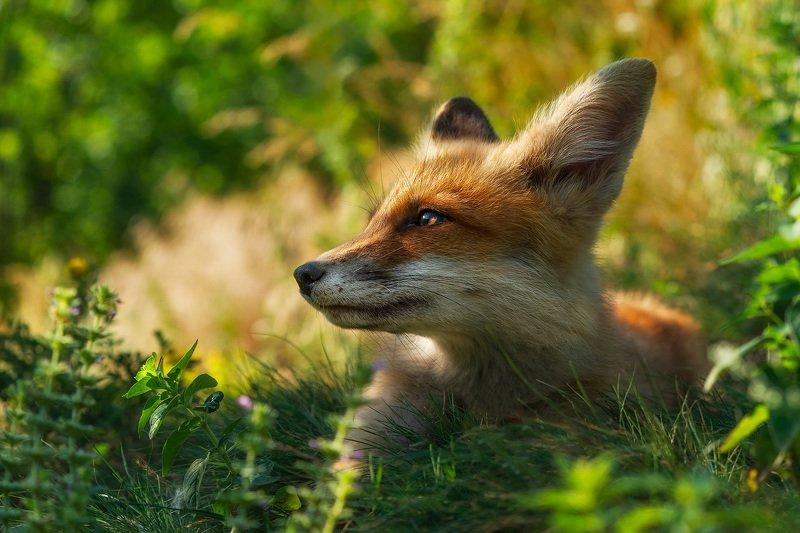 лиса, животные, анималистика, природа, лисенок, fox, animals, wildlife, nature Солнечный лисphoto preview