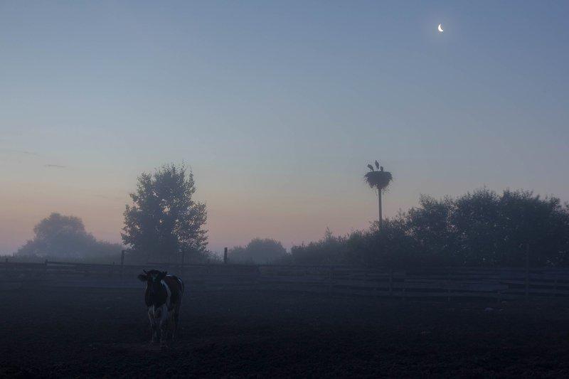 деревня, ферма, корова, птица, аист, луна, сумерки, белая ночь Просыпалось утроphoto preview