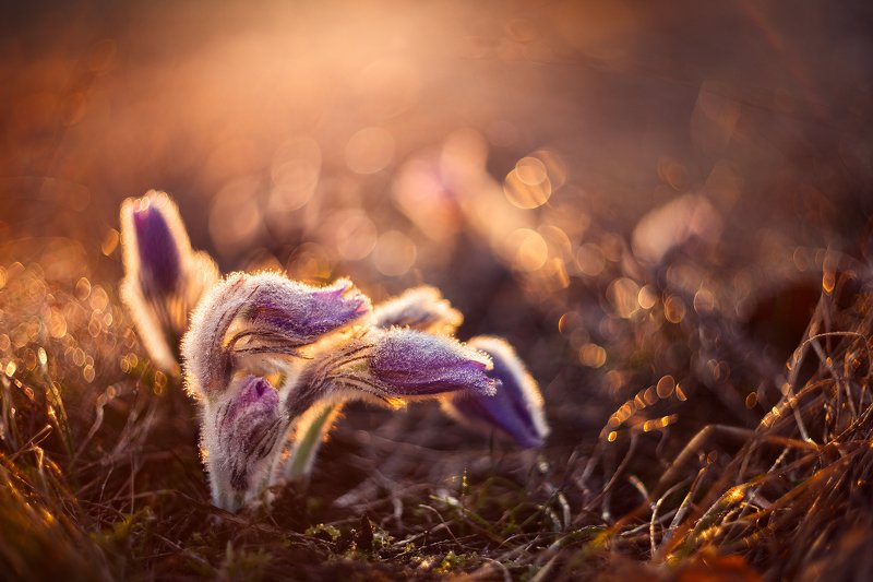 pulsatilla, flower, morning, old lens, spring,bokeh, helios, Pulsatillaphoto preview